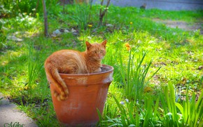 Picture Cat, Pitcher, Red cat