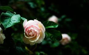 Picture macro, nature, rose, Bush, garden, buds
