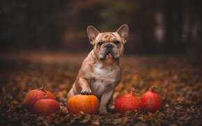 Picture autumn, look, face, nature, pose, Park, the dark background, foliage, paw, dog, pumpkin, sitting, bokeh, …