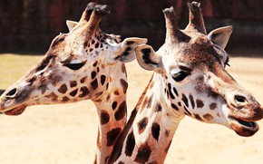 Picture look, light, background, portrait, giraffe, contrast, pair, giraffes, a couple, Duo, two, muzzle