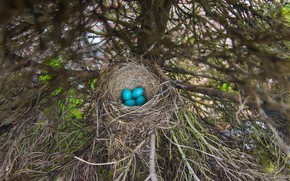 Picture branches, tree, eggs, spruce, blue, masonry, socket, four, bird, яйца дрозда