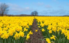 Picture nature, spring, plantation, Narcissus