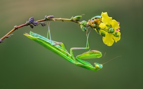 Picture branch, mantis, insect, treefrog