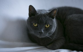 Picture cat, cat, look, face, grey, shadow, fabric, lies, light background, British, yellow eyes