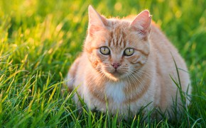 Picture greens, cat, summer, grass, look, light, kitty, glade, portrait, red, kitty, face, sitting, yellow eyes