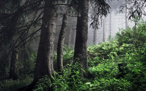 Picture forest, trees, fog