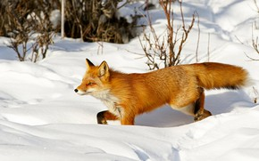 Picture winter, snow, branches, nature, pose, Fox, the snow, red, walk, Fox
