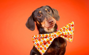 Picture look, face, background, portrait, dog, Dachshund, bow tie