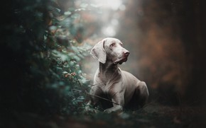 Picture dog, the bushes, bokeh, The Weimaraner, Weimar pointer