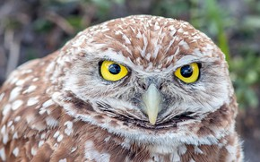 Picture eyes, owl, portrait, owl