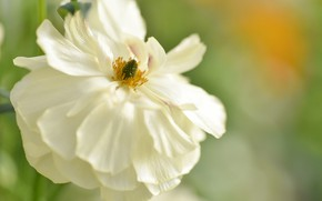 Picture flower, background, Mac, white poppy