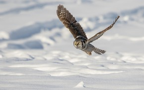 Picture winter, snow, flight, owl, bird, snowy owl, flying