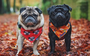 Picture autumn, dogs, nature, dog, pair, pug, shawl, pugs