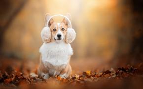 Picture autumn, look, background, dog, headphones, bokeh, fallen leaves, Welsh Corgi