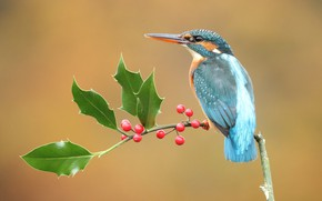 Picture look, leaves, berries, background, bird, branch, fruit, red, bird, sitting, handsome, Kingfisher, bright plumage, bird