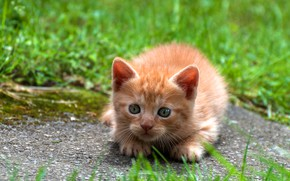 Picture cat, grass, look, nature, pose, kitty, baby, red, muzzle, lies, kitty
