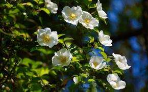 Picture summer, leaves, light, flowers, branches, Bush, briar, white, flowering, bokeh, the wild rose Bush