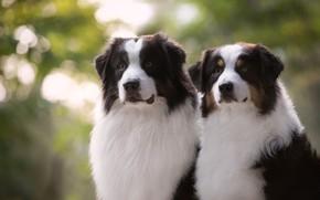 Picture dogs, look, portrait, a couple, Duo, Australian shepherd, Aussie