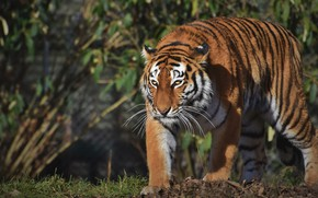 Picture look, light, nature, tiger, pose, sneaks