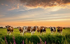 Picture nature, cows, meadow, the herd