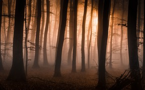 Picture autumn, forest, trees, branches, fog, trunks