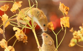 Picture a couple, mouse, The mouse is tiny