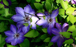 Picture leaves, flowers, clematis