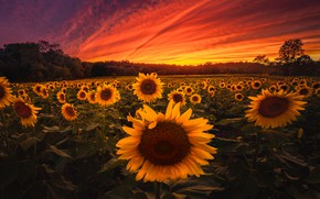 Picture field, sunflowers, sunset