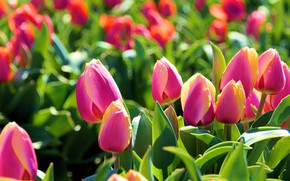 Picture flowers, tulips, pink