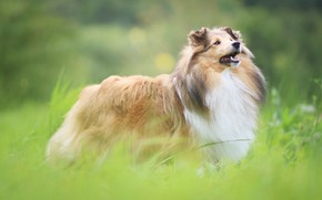 Picture greens, grass, look, nature, glade, dog, puppy, collie