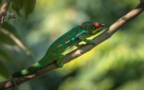 Picture light, green, chameleon, background, branch, bokeh, reptile