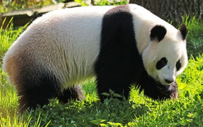 Picture grass, look, face, nature, bear, bear, Panda, walk