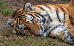 Picture look, tiger, paw, lies, face, tiger, tiger