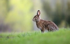 Picture grass, look, Rosa, grey, glade, hare, Bunny