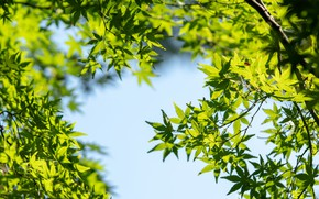 Picture the sky, leaves, the sun, green, maple, sky, leaves, maple