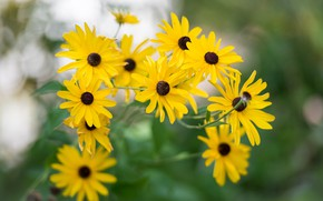 Picture flowers, yellow, garden, rudbeckia
