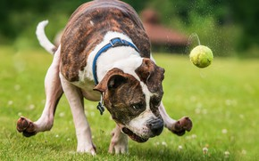 Picture the game, the ball, dog