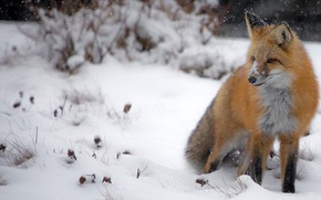 Picture winter, snow, nature, Fox, the snow, sitting, snowfall