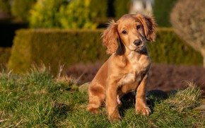 Picture grass, look, dog, garden, baby, puppy, face, sitting, brown, the bushes, Spaniel
