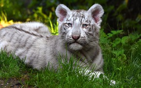 Wallpaper greens, cat, white, grass, nature, tiger, background, baby, lies, wild cats, face, cub, tiger, tiger