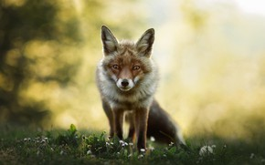 Picture look, face, flowers, glade, Fox, bokeh