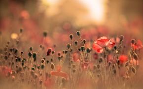 Picture field, summer, light, flowers, nature, stems, glade, Mac, Maki, blur, meadow, red, a lot, bokeh, …