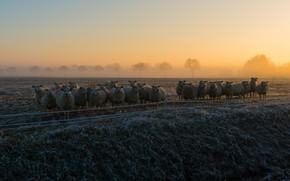 Picture frost, field, the sky, grass, trees, fog, dawn, sheep, morning, pasture, sheep, early, a lot, …