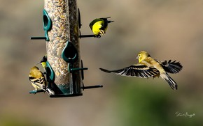 Picture birds, food, feeder, finches, Finches
