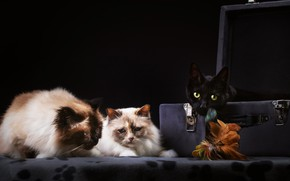 Picture cats, the dark background, cats, suitcase, trio