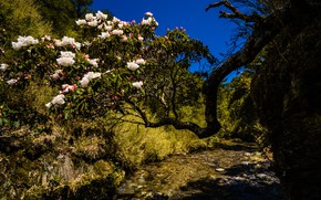 Picture flowers, nature, blue, thickets, hills, beauty, branch, spring, Asia, white, flowering, tree, colorful, Azalea, rhododendrons