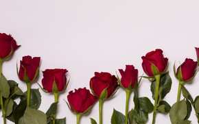 Picture background, roses, buds