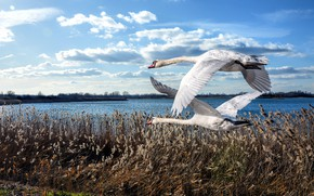 Picture the sky, grass, clouds, flight, birds, shore, pair, Swan, swans, two, pond, two birds, two …