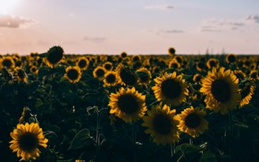 Picture field, summer, the sky, light, sunflowers, flowers, the evening, petals, horizon, field of sunflowers
