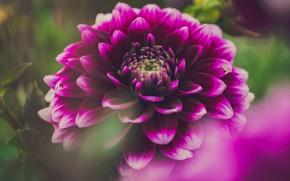 Picture flower, macro, pink, lilac, Dahlia, bokeh, Burgundy